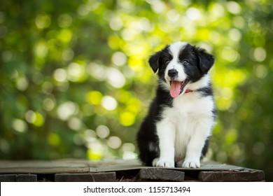 adorable portrait of amazing healthy and happy black and white border collie puppy