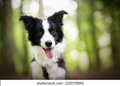 adorable portrait of amazing healthy and happy young black and white border collie puppy in the forest