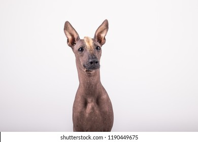 adorable portrait of amazing healthy and happy adult Perro sin Pelo del Peru in the photo studio on the white background