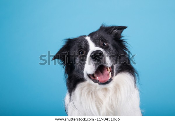 adorable portrait of amazing healthy and happy adult black and white border collie in the photo studio on the blue background