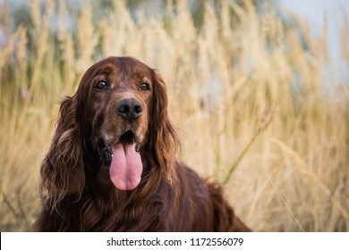 adorable portrait of amazing healthy old irish setter male in the dry grass