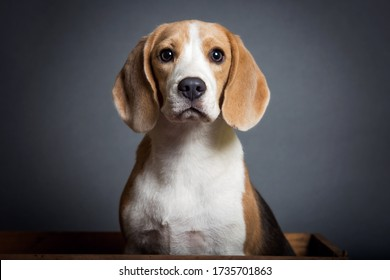 Adorable Portrait of a Blue Beagle Puppy