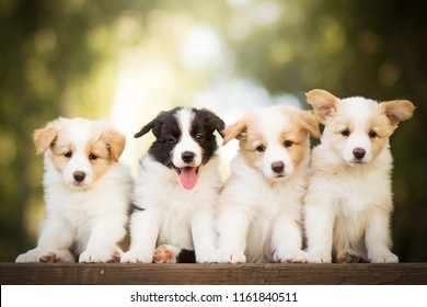adorable portrait of four sweet healthy and happy border collie puppies group litter in the garden