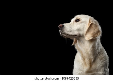 Adorable Portrait of Golden Retriever Dog Looking side, Isolated on Black Backgrond, profile view