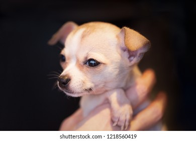 Adorable portrait of a tiny golden brown puppy chihuahua held in a hand with a dark background