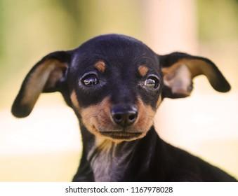 Adorable Prague Ratter Puppy