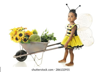 An adorable preschool girl in a Bumble Bee outfit pushing a wheelbarrow full of sunflowers while looking up for others.  On a white background.