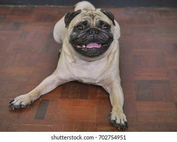 Adorable pug dog lying on floor at home, 3 year old.