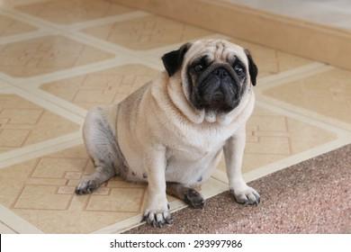Adorable Pug Dog sit on floor
