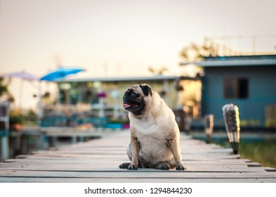 Adorable pug dog sitting on wooden bridge with coffee shop and sunset background.