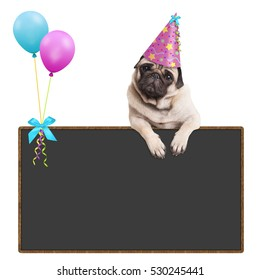 adorable pug puppy dog hanging with paws on blank blackboard sign with balloons and wearing pink party hat, on white background