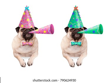 adorable pug puppy dog hanging with paws on blank banner, wearing colorful birthday party hat and blowing horn, isolated on white background
