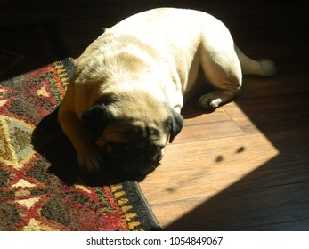 Adorable Pug resting indoors in the morning sunshine.