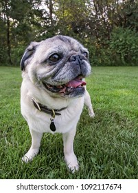 an adorable pug sitting in a park
