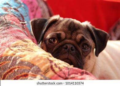 Adorable pug staring