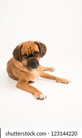 Adorable Puggle Dog on White Background