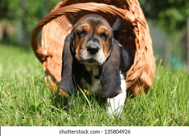 Adorable puppy of basset hound in basket looking directly at you