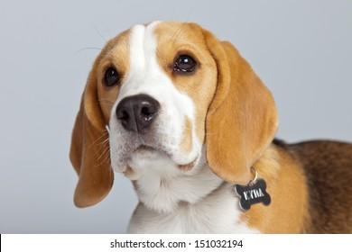 Adorable puppy beagle dog isolated against grey background. Studio portrait.