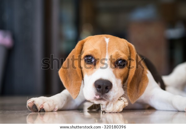 Adorable Puppy Beagles Laying Down On Stock Photo (Edit Now