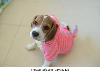 Beagle Puppy Face Stock Photos, Images & Photography