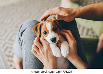 Adorable puppy Jack Russell Terrier in the owner's hands. Portrait of a little dog.