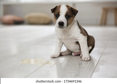 Adorable puppy near puddle on floor indoors
