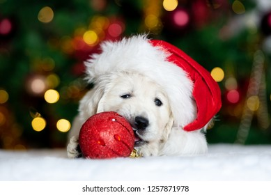 adorable puppy in santa hat playing with christmas ball