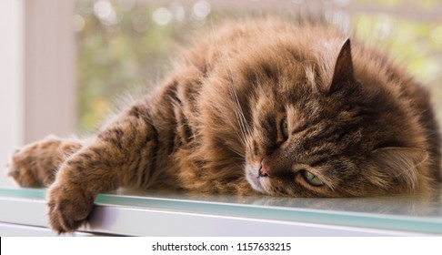 Adorable purebred cat of livestock, siberian breed. Hypoallergenic animal in cuddling time