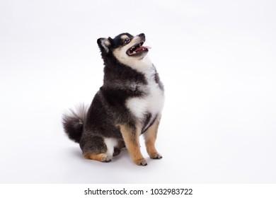 Adorable purebred spitz, studio shot. Cute fluffy black and white pomeranian spitz posing on white background. Friendly domestic dog.