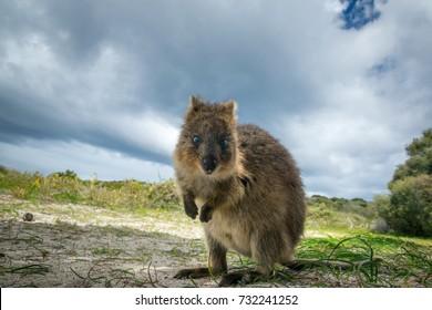 Adorable quokka kangaroo, Rottnest island, Western Australia