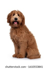 Adorable red / abricot Labradoodle dog puppy, sitting side ways, looking towards camera with shiny dark eyes. Isolated on white background.