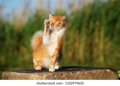 adorable red cat waving his paw in the air
