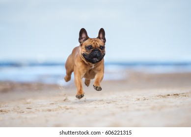 adorable red french bulldog dog on a beach