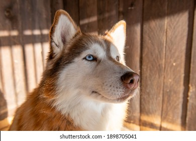 Adorable red husky dog with different eyes color