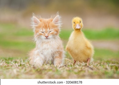 Adorable red kitten with little duckling