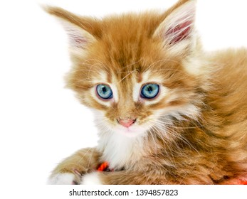 Adorable red main coon kitten with blue eyes on white background