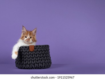 Adorable red with white Maine Coon cat kitten, sitting in knitted basket with one paw hanging relaxed over edge. Looking towards camera. Isolated on a purple background.