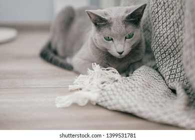 Adorable russian blue cat with funny emotional muzzle and big blue eyes lifestyle portrait in home interior. Gray little playful breeding kitten waiting to play. Lovely active female kitty relaxing.