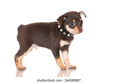 adorable russian toy terrier puppy