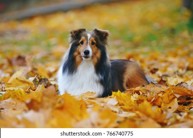 Adorable sable Sheltie dog lying down outdoors in fallen maple leaves in autumn
