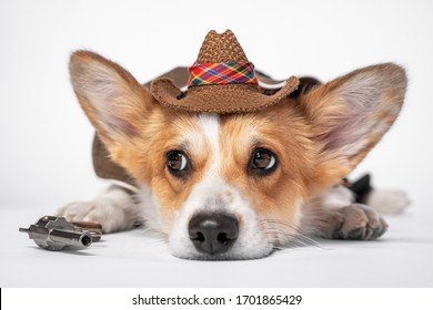 Adorable sad welsh corgi pembroke or cardigan in cool cowboy costume with straw wide brimmed hat and a revolver lying on white background. Dog is ready for fun halloween party. Funny clothes for pets