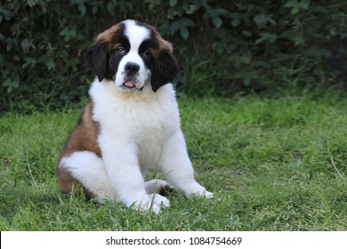 Adorable Saint Bernard Puppy With Sweet Expression