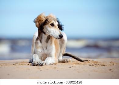 adorable saluki puppy on a beach