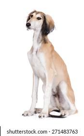 adorable saluki puppy on white