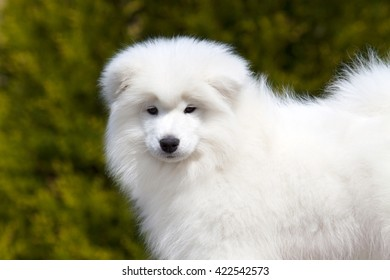 Adorable samoyed puppy