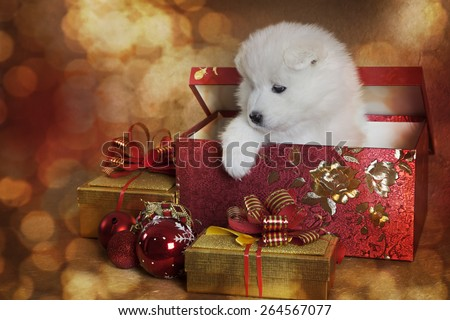 Adorable Samoyed puppy in a gift box in front of Christmas background