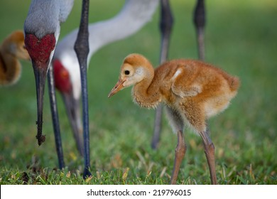 Adorable sandhill crane chick walks under legs of parents