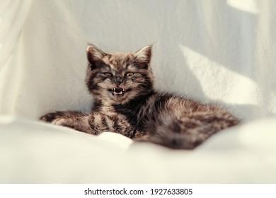 Adorable scottish black tabby kitten on white background.