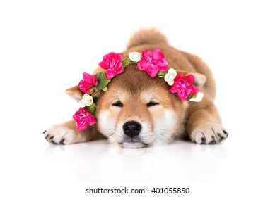 adorable shiba inu puppy in a pink flower crown