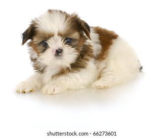 adorable shih tzu puppy laying down on white background - 6 weeks old